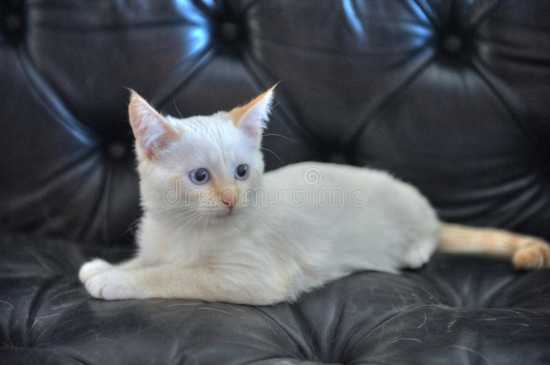 White kitten with blue eyes. Kitten on a black leather couch. animals. cat. cats. furry. pets stock image