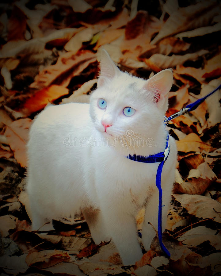 White kitten in the fallen leaves. In late autumn, Beijing China,a kitten 6 month old walking in the fallen leaves,with pure blue eyes stock photos