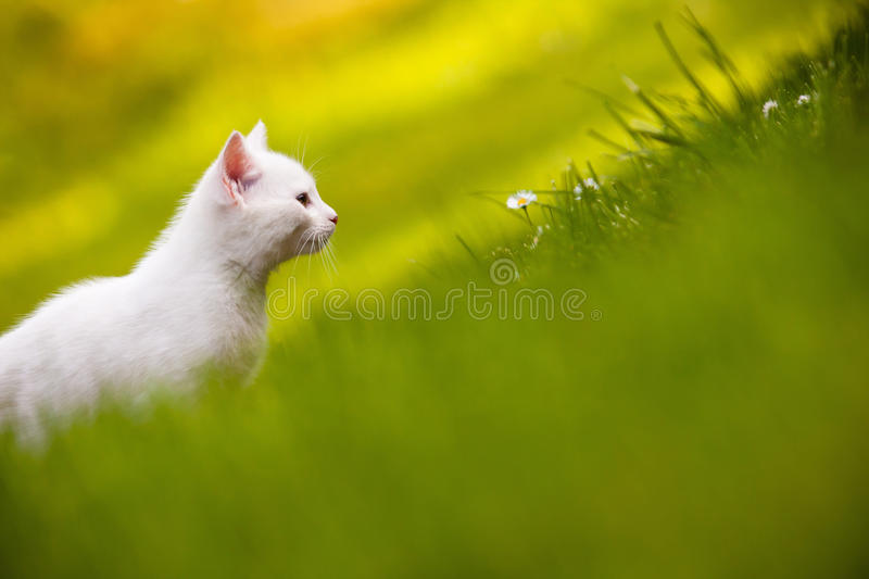 Download White kitten in grass stock image. Image of health, yellow - 14719991