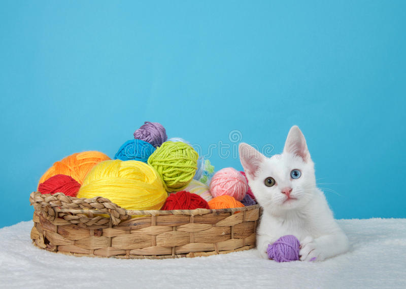 White kitten with heterochromia eyes holding ball of yarn. Small white kitten with heterochromia, or odd-eyed, next to a brown basket with colorful balls of yarn royalty free stock images