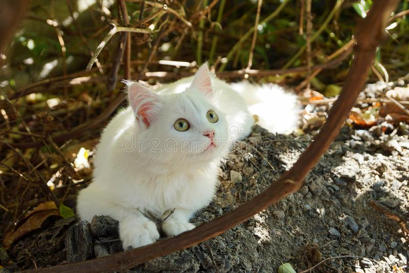 White kitten lying on the ground in the garden among the brown branches of plants. One white kitten is lying on the gray ground in the garden among the brown royalty free stock photos