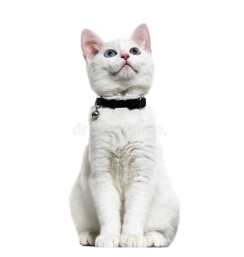 White kitten mixed-breed catwearing a bell collar and looking up royalty free stock images
