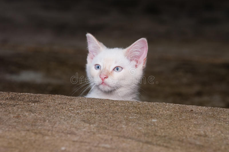 White kitten peeking over step royalty free stock photo