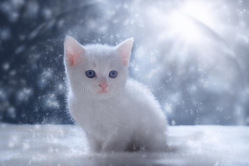 White Kitten in Snow Scene. A small and cute white kitten with blue eyes aged around six weeks is seen sitting on a white rug with a blue background. Snow and a royalty free stock images