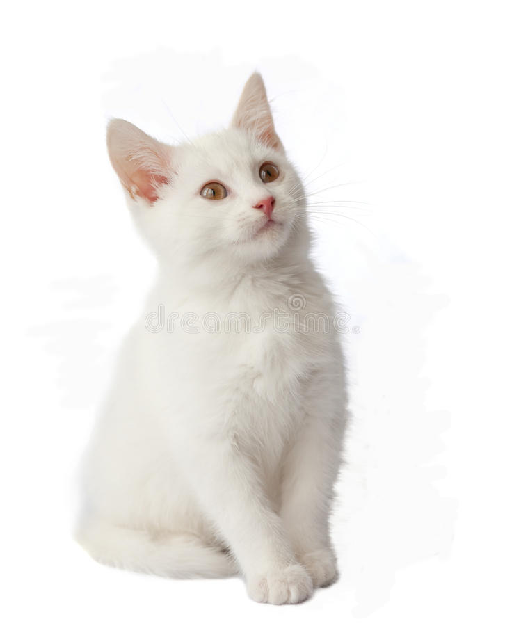 Download White kitten on white stock photo. Image of background - 25103754