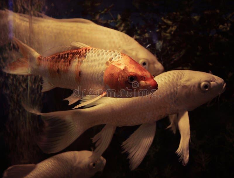 White koi fish. Swimming in aquarium stock photography
