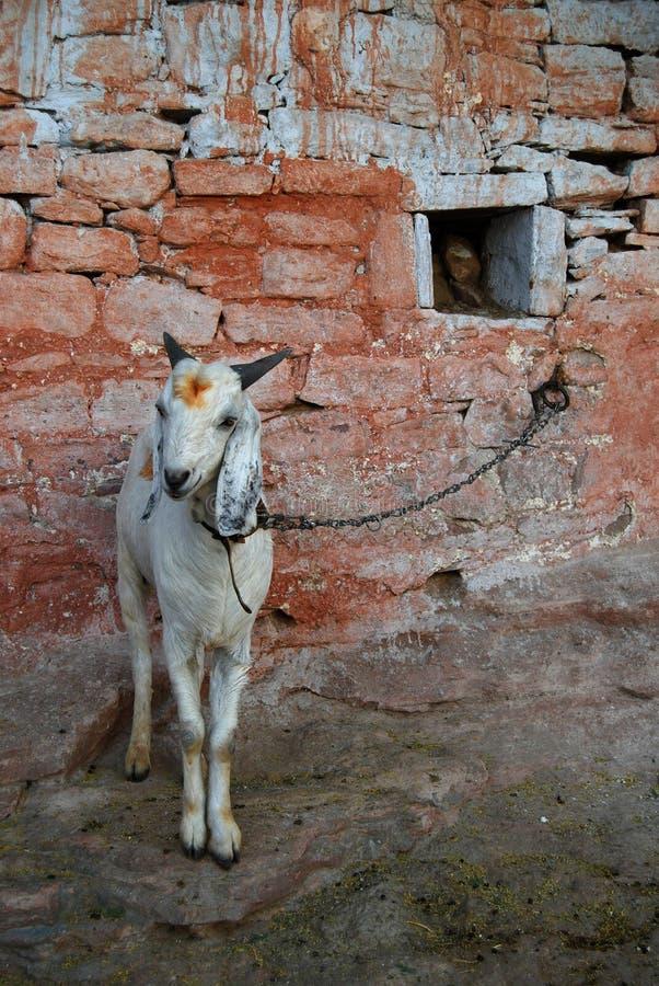 white kozie zdjęcie royalty free