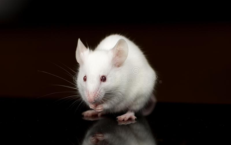 White lab mouse eating food stock photography