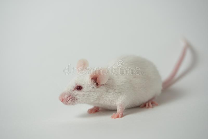 White laboratory mouse on a white background. royalty free stock photography