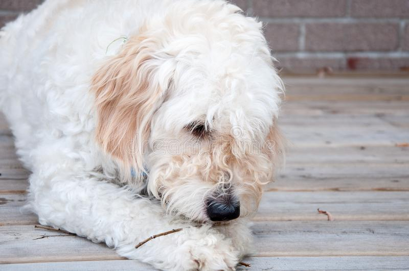White Labradoodle Chewing a Stick. Adorable fluffy dog laying down on a porch royalty free stock image