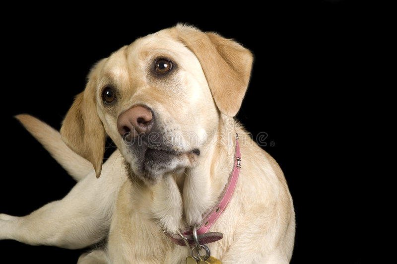 Download White Labrador stock photo. Image of isolated, freindly - 3601990