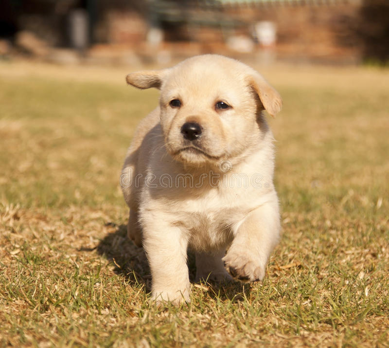 White Labrador puppy runs on grass. In sunshine royalty free stock photography