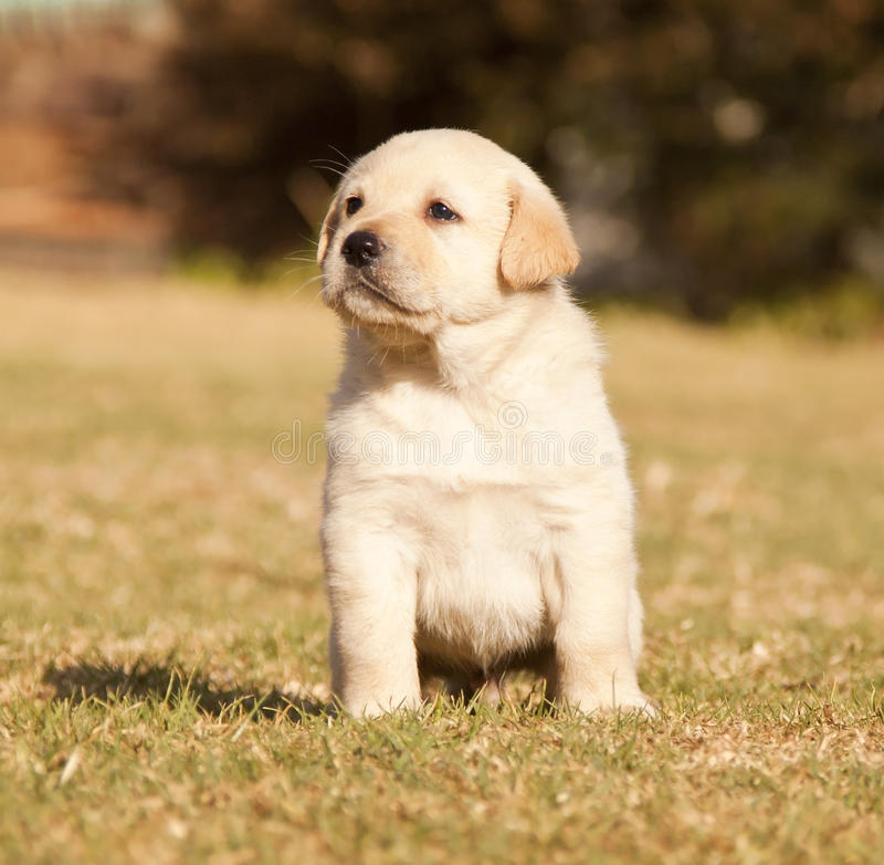 White Labrador puppy sit on grass stock image