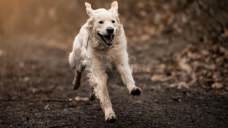 White labrador. Running full speed in the forest stock image