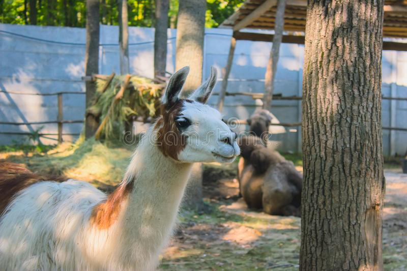 white lama lives in the zoo stock photo
