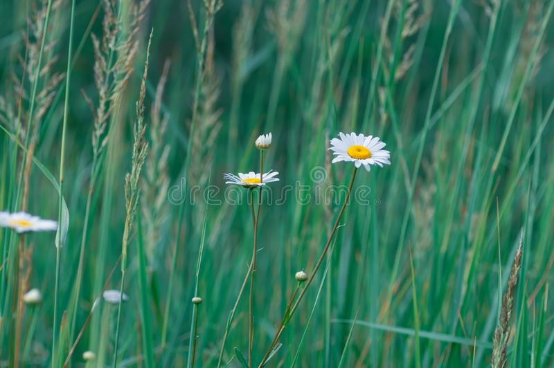 White large daisy flowers on a background of green grass. Selective focus. Summer background stock photo