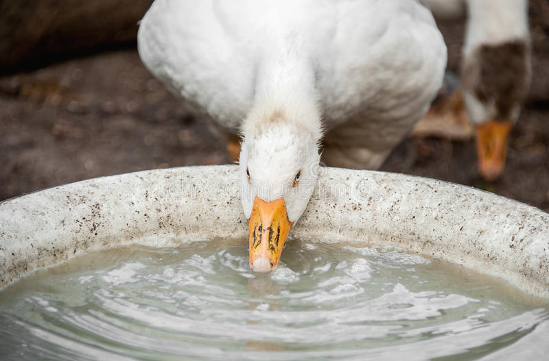 White large goose drinking water from dishes on the farm stock image