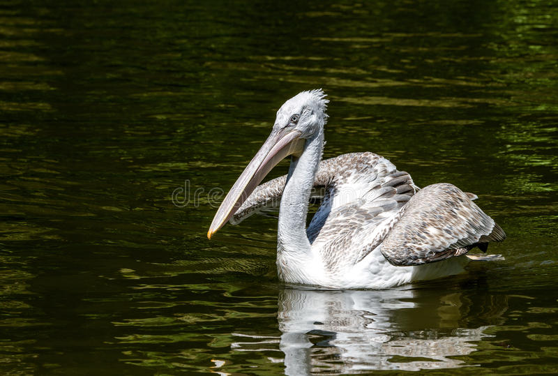 White large pelican swimming over dark water. royalty free stock photo