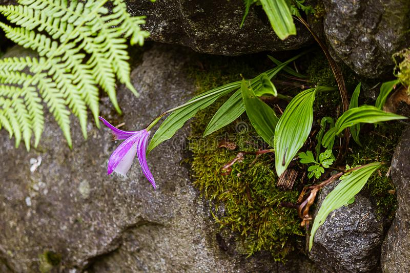 White and lavender orchid planted in crevises of a rock garden stock photo