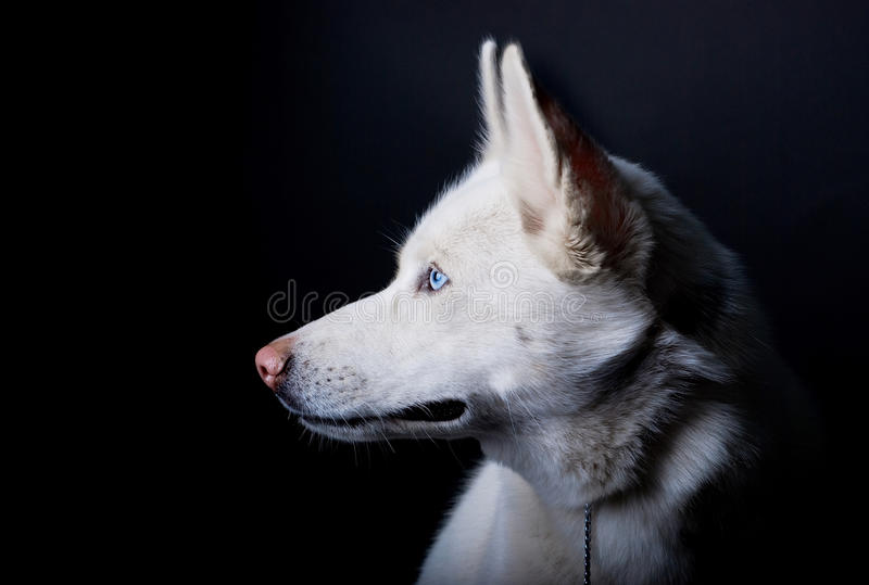 White layka. Dog on black background