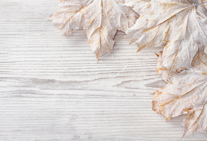 White leaves over wooden grunge background. Autumn maple royalty free stock photography