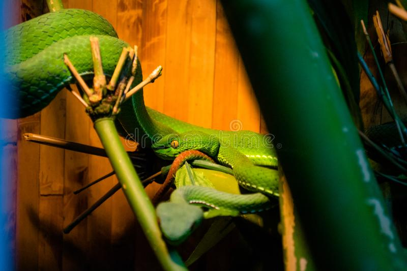Photo poisonous green snake, koufa. White-legged koufa, tropical snakes, a large green snake, an adder, a scaly reptile royalty free stock images