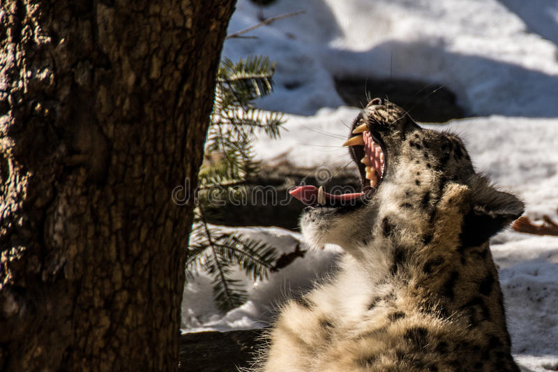 White Leopard Yawning. Bronx Zoo 2014 royalty free stock images