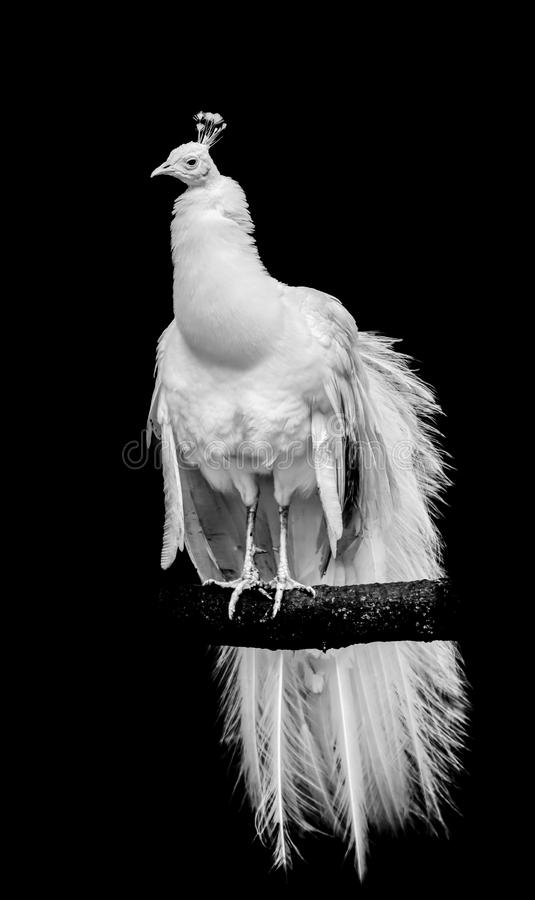 A white leucistic peacock perched on a branch with black background. A white leucistic peacock perched on a branch with isolated black background stock photography