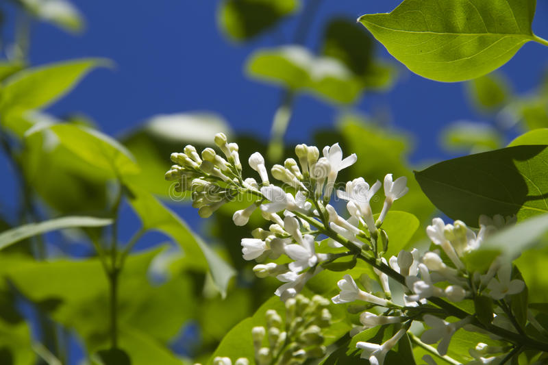 Download White lilac stock image. Image of outdoors, foliage, closeup - 24621937
