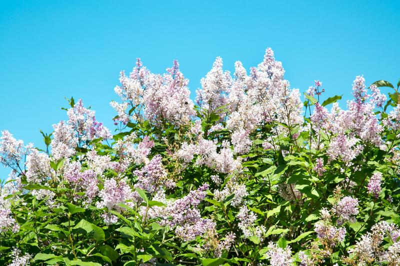 White lilac flowers on a bright Sunny day against a turquoise sky. Selective focus. The nature of the flora of temperate climate. royalty free stock photo