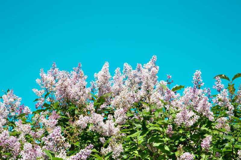 White lilac flowers on a bright Sunny day against a turquoise sky. Selective focus. The nature of the flora of temperate climate. stock image