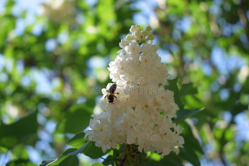 White lilac and bee collecting pollen. White lilacs blossomed among other flowers, a bee flew to her flower stock images