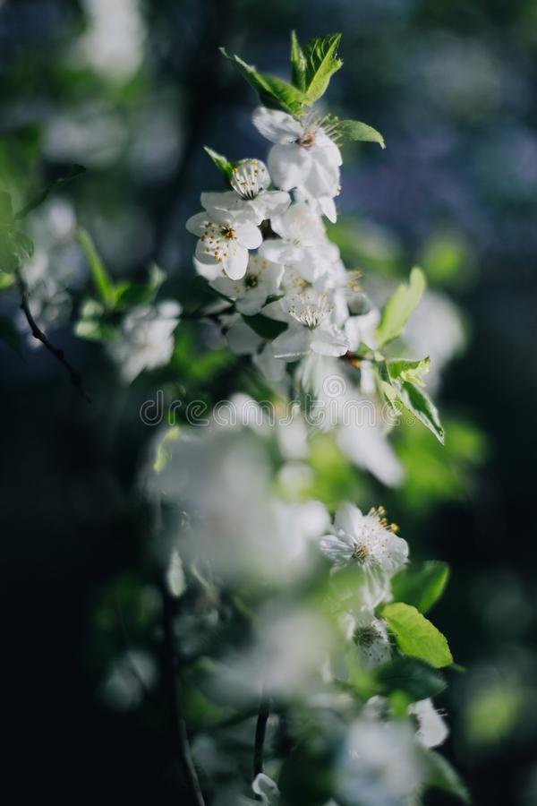 White lilacs flowers background outdors light nice stock images