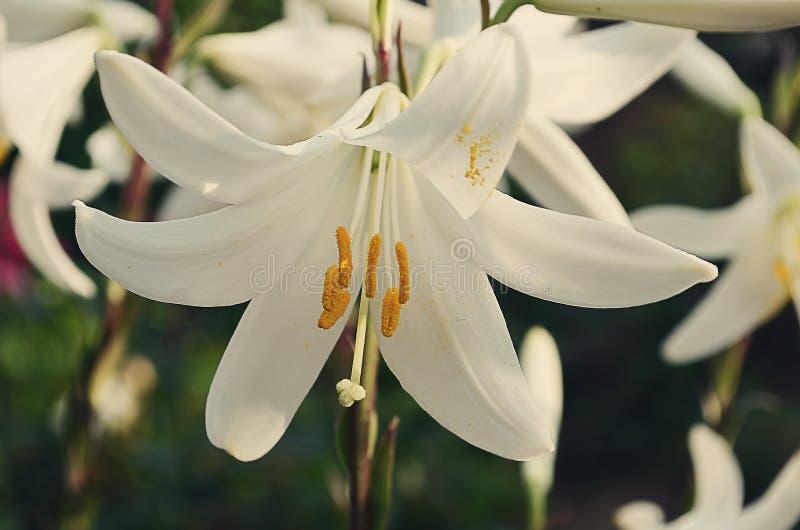 White lilies royalty free stock photos