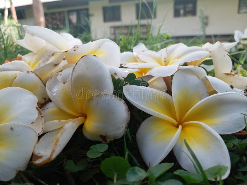 White lilies stock photography