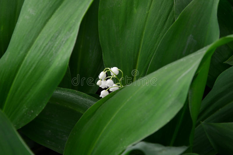 White lilies of the valley. Flowers.Closeup. royalty free stock images