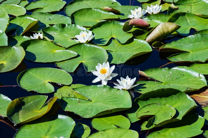White lilies on the water`s surface among green leaves royalty free stock photo