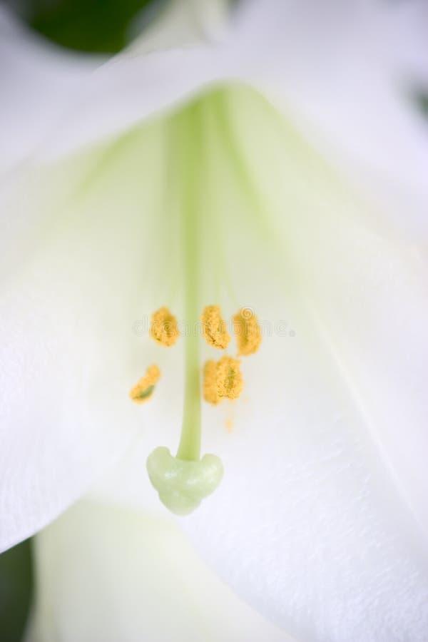 White lillies royalty free stock photo