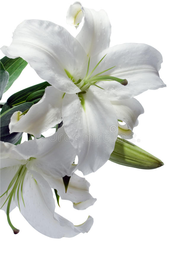 White Lilly Royalty Free Stock Photography