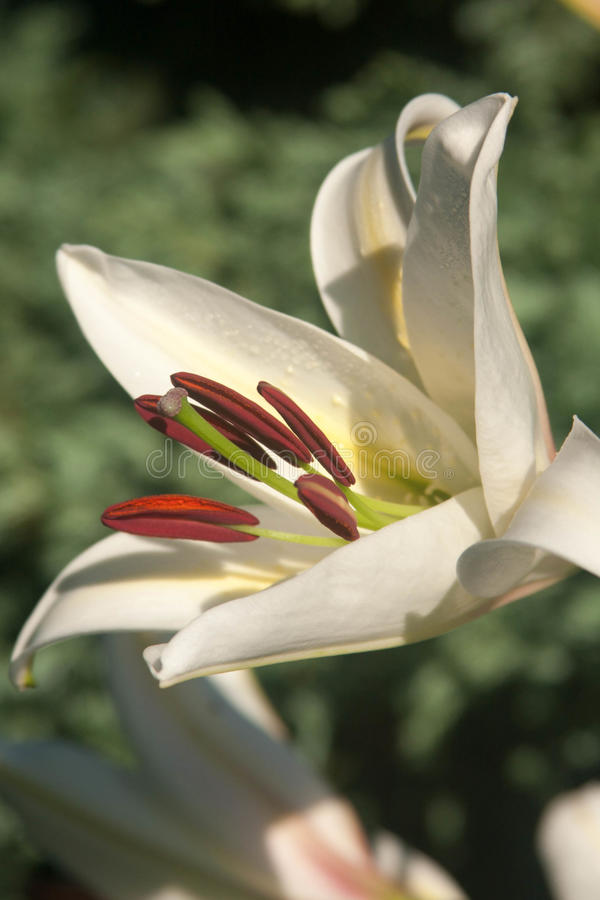White Lilly Stock Photography