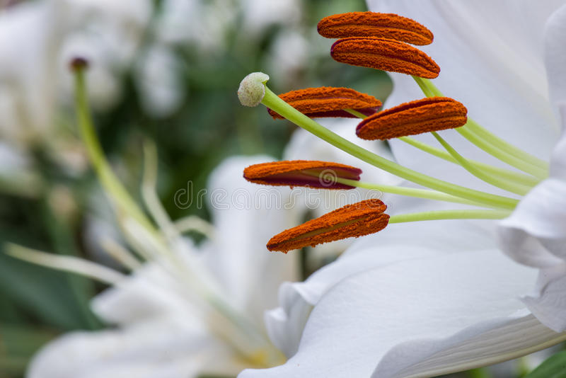 Download White lilly stock image. Image of heads, lilly, peace - 28477627