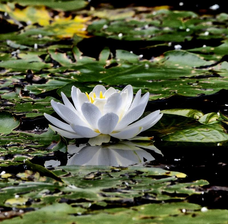 A White Lilly in Full Bloom. This is a Summer picture of a White Lily in full bloom on the Alfred Caldwell Lily Pond in Lincoln spark located in Chicago stock photos