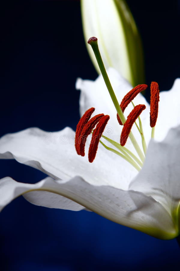 White lilly macro on blue gradient background stock photos