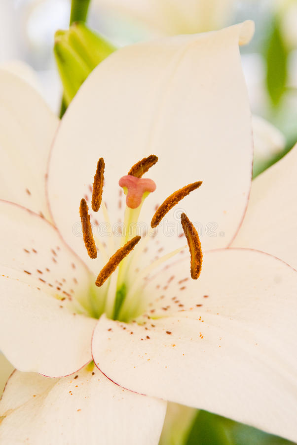 Download White lily stock photo. Image of creamy, petal, nature - 10418124