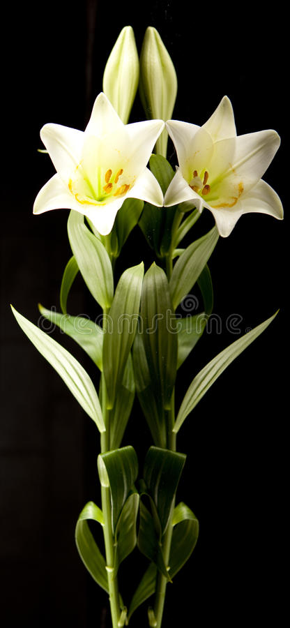 Download White lily stock image. Image of blooming, tall, plant - 11838865