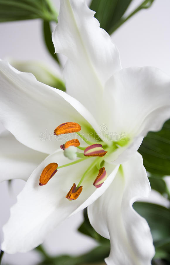 Download White lily stock image. Image of fragrance, elegant, flora - 14659957