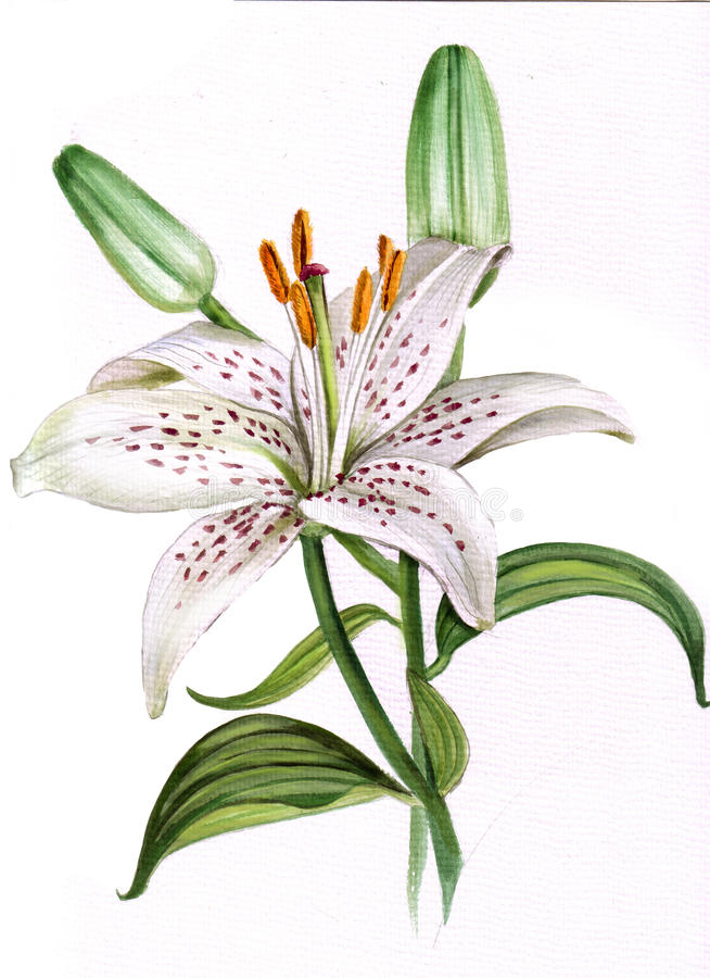 Free White Lily Stock Images - 14660724