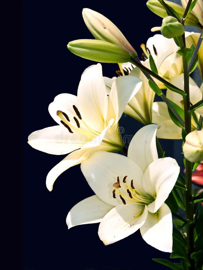 Download White lily stock image. Image of fragility, nature, celebration - 15022757