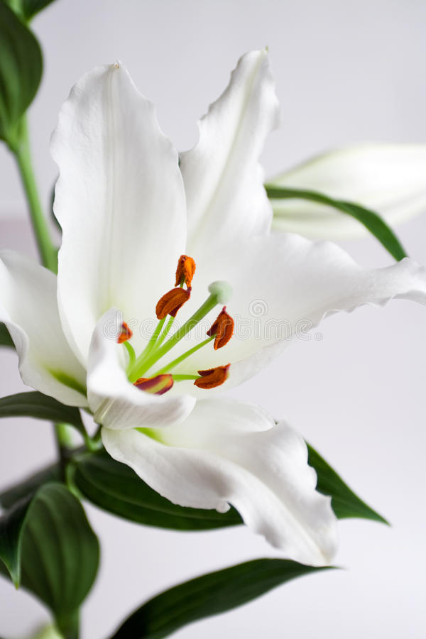 Download White Lily Royalty Free Stock Photo - Image: 15114205