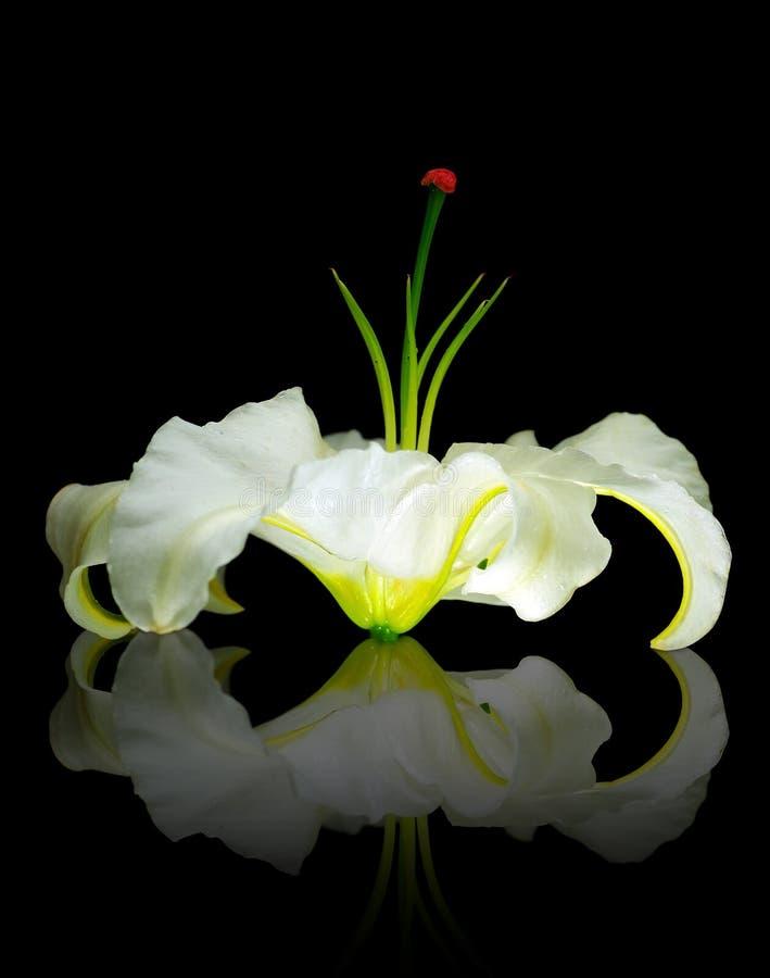 White Lily Stock Photos